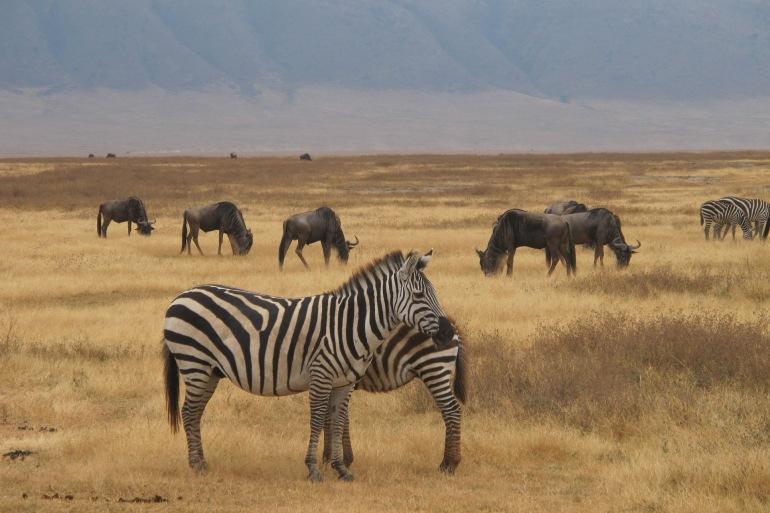 Animals View of Safari at Serengeti, Tanzania