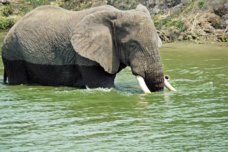 Eelephant swim play-Uganda-1535881_P