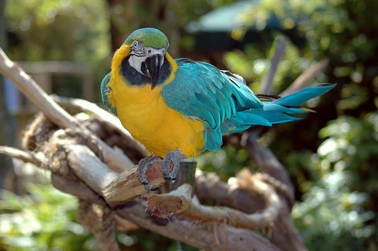 Macaw parrot bird colorful nature-Peru-1572705_P