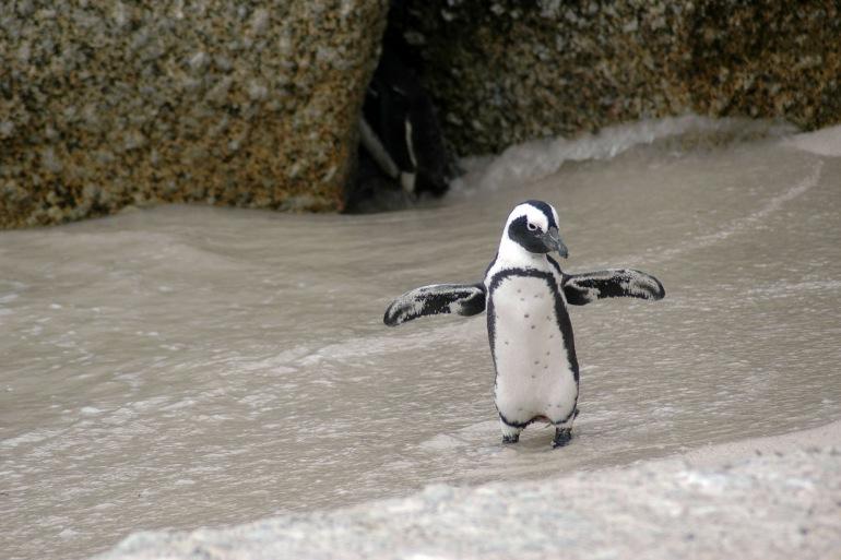Magellanic-penguin-Argentina-216080_P