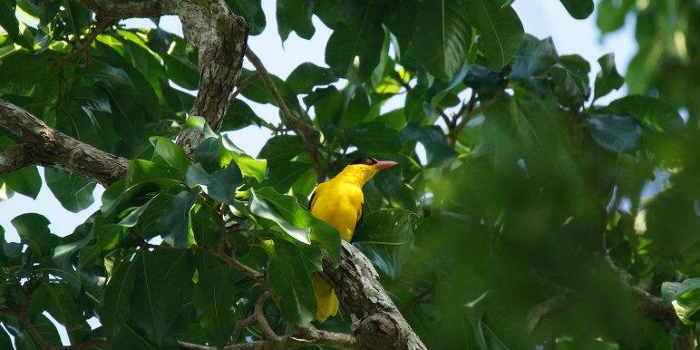Bright yellow bird in Asia