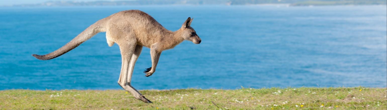 Kangaroo in the Australian Outback