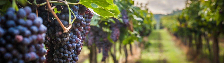 vinyard in Europe on guided wine tasting tour