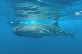 Journey to the Sea of Cortez - Grey whale & Whale shark departure tour