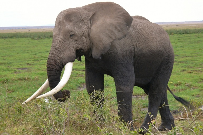 An Elephant in Amboseli National Park-2063595_p