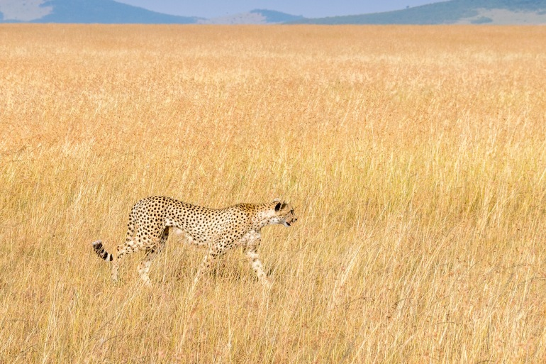 Cheetah in a national park
