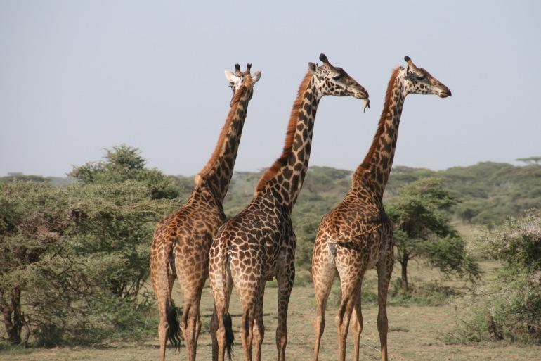 Group of Giraffe_Savannah-Arica_1330814_P
