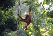 Orangutan in the jungle Borneo tour attraction