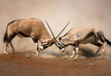 Two male Gemsbok spotted fighting while on safari