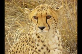 Namibia Cheetah Safari tour