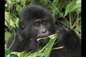 Gorilla and Chimp Safari tour