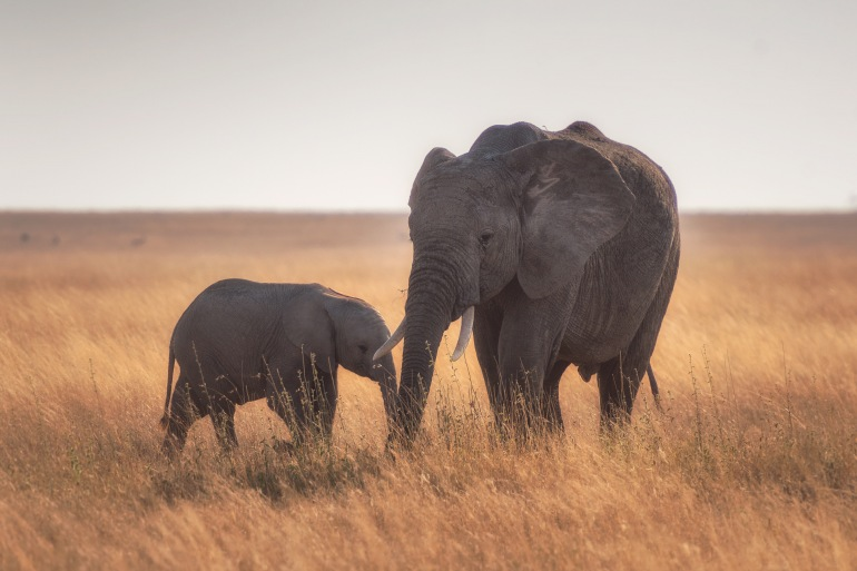 Pair of Elephants_Tanzania_Africa_p
