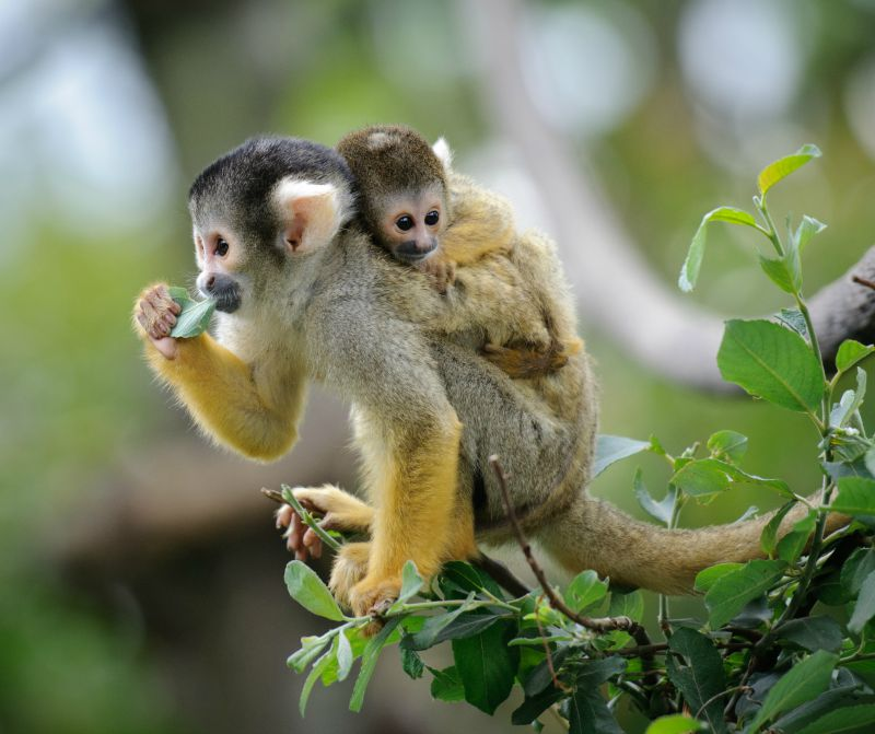 Squirrel Monkey in the Amazon