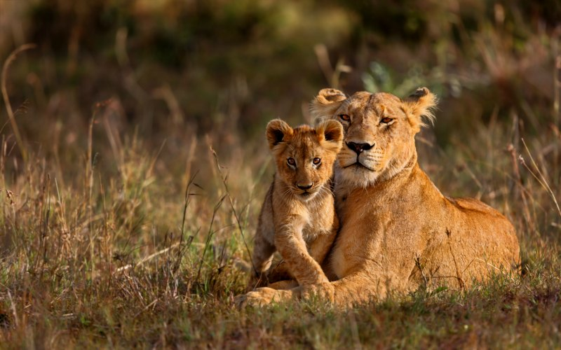 Lioness and Cub in Africa
