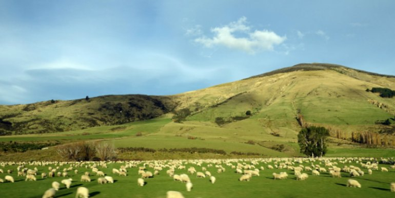 Sheep in pasture in New Zealand