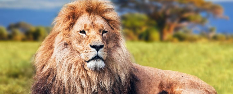 Beautiful lion sighting on safaris tour in Africa