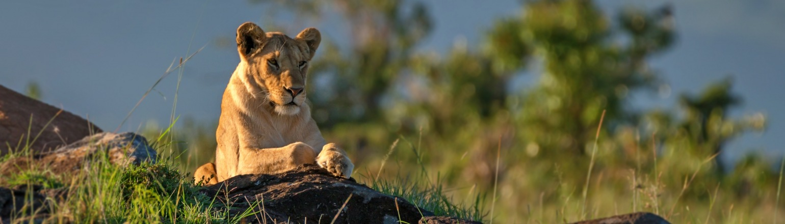 Lioness resting in park in Tanzania on Cheeseman's Ecology Safaris