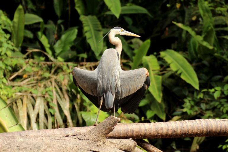 Birds in Tortuguero-Costa Rica_2089423_P