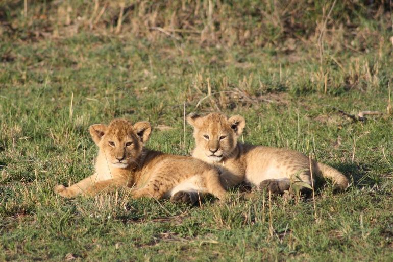Liaon cubs in Masai Mara_Kenya_3017642_1920_p