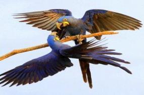 Brazil - Birds & Wildlife of the Pantanal & Cerrado I 2018 tour