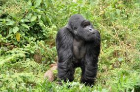 Luxury Gorilla Safari tour