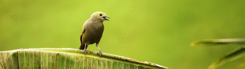 Circassia Quindio bird species in Colombia