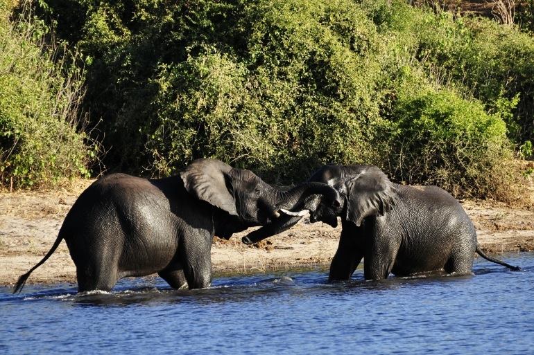 Elephants in Chobe river-Africa-73136-P