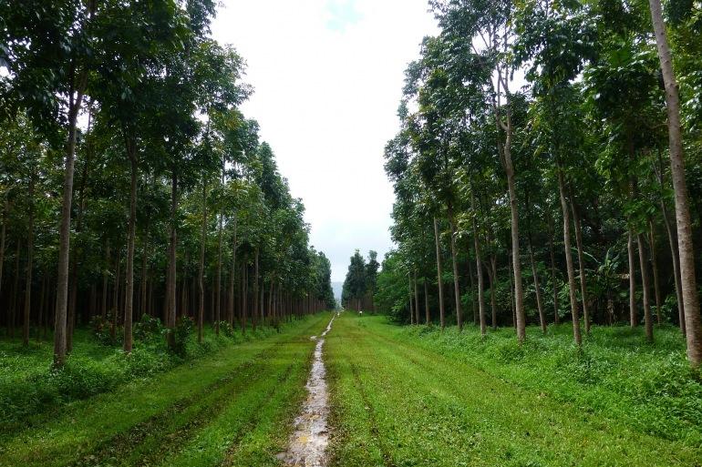 Mahogany tree forest-Uganda-343130_P