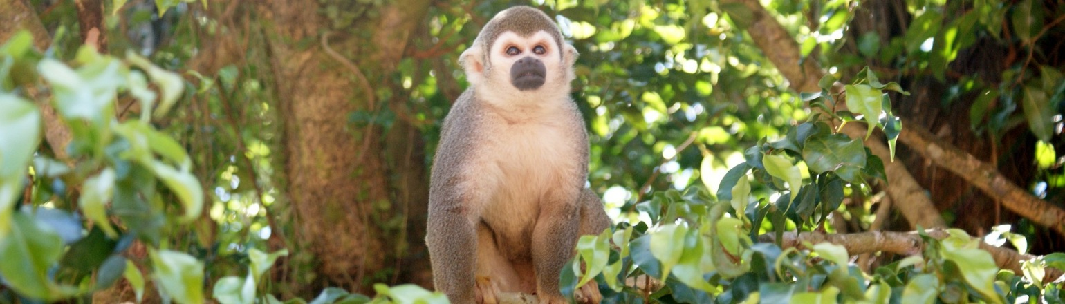 Curious Amazonian spider monkey spotted on rainforest tour