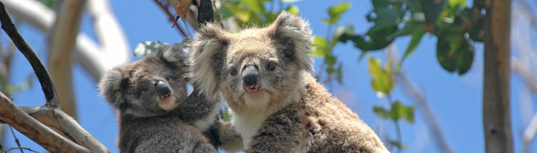Koalas in Eucalyptus treeks Australia tour