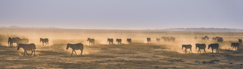 Zebra on dusty savanna in Amboseli National Park in Kenya at dusk