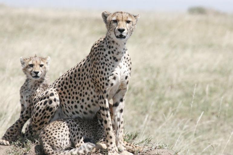 Cheetahs at Tanzania, East Africa