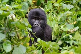 Chimps & Gorillas of Uganda