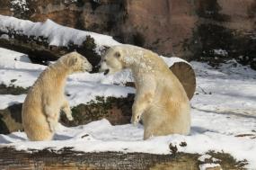 North Spitsbergen - Polar Bear Special, Eco Volunteer tour