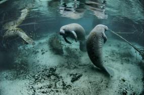 Florida Manatees And Endangered Habitats tour