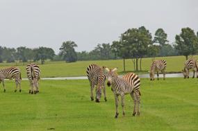 8 Days Wildebeest Calving Safari Migration