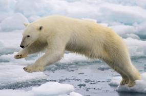 Narwhal & Polar Bear Safari tour