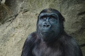 The Gorilla Stop