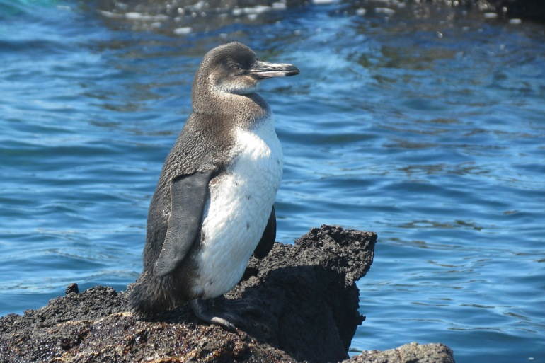 Penguin bird-Galapagos-255527_P