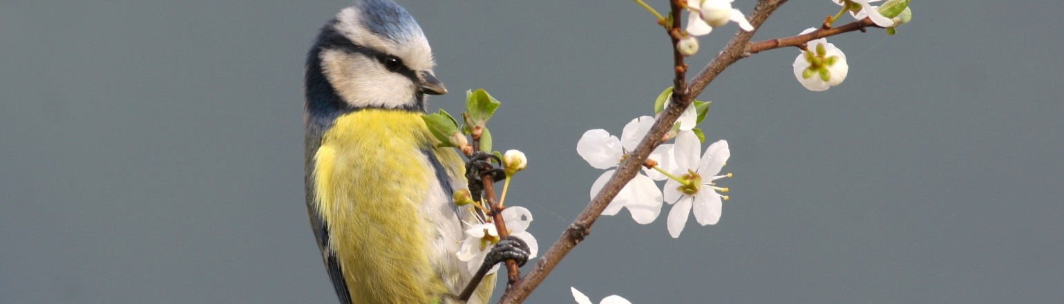 Tiny blue tit perched on a white blooming twig on Birdquest tour