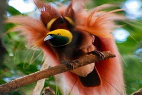 Papua New Guinea - Birding in Paradise III 2018 tour