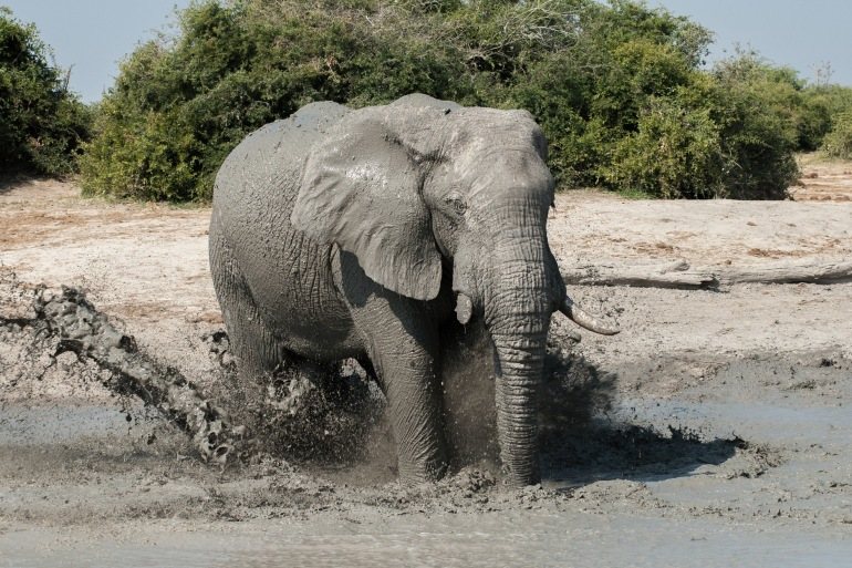 Elephant at water hole in Botswana, Africa_P