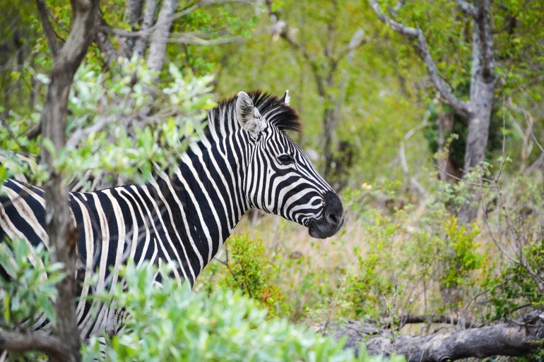 zebra wild animal-Africa_2387893_P