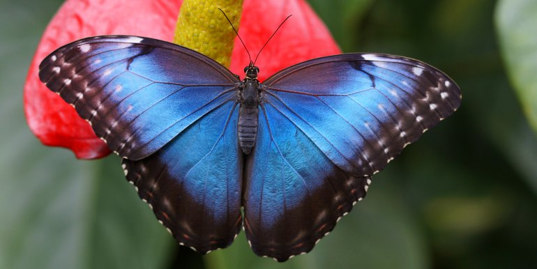 Blue butterfly in the Amazon
