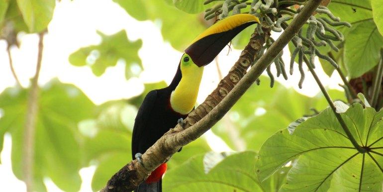 Tucan in the Amazon