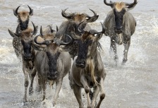 Wildebeest in Tanzania safari