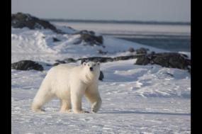 Realm of the Polar Bear in Depth - M/V Polar Pioneer tour