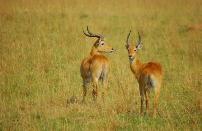 Uganda Big Catch Safari -7 Days tour