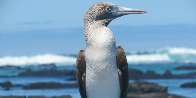 Blue Footed Booby on Galapagos