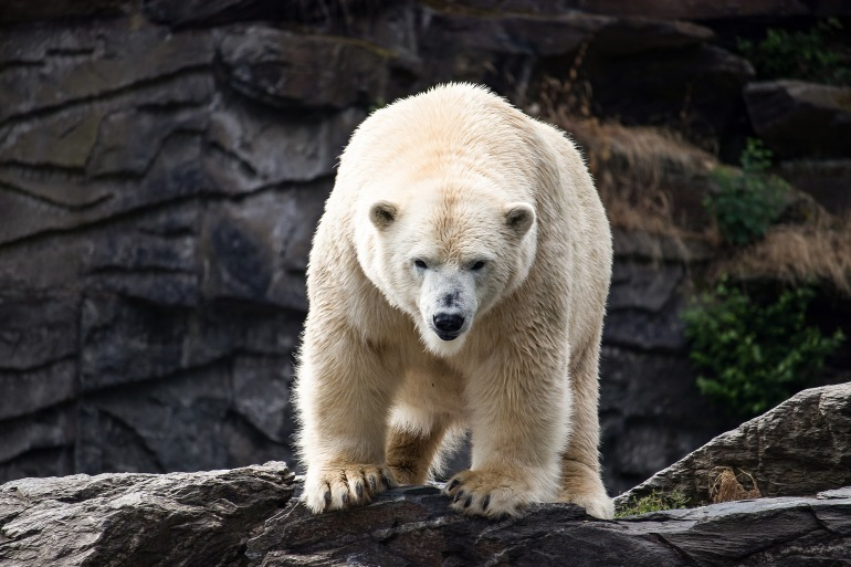 Polar bear-Antarctica_3667155_1920_P